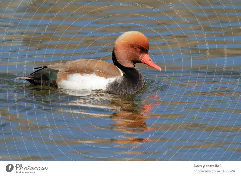 Rothaubenenteente (Netta rufina) männlich schwimmend Ente Ameise Schwimmen & Baden Wasser Tier Vogel Schnabel Auge Feder rot Nesseltiere