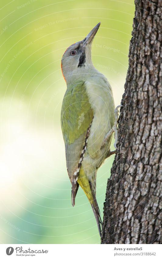 Europäischer Grünspecht (Picus viridis) auf einem Baumstamm Tier Vogel Specht Schnabel Auge Feder grün Gras Chopper picus viridis Grünling