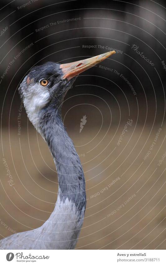 Nahaufnahme eines Kranichs (Grus grus) Vogel Porträt Tier Schnabel Feder wild Auge grau Hals Kolkrabe