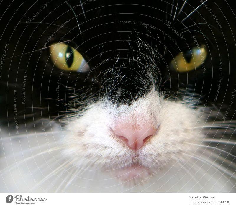 Luna Tier Haustier Katze 1 gut klug schwarz weiß Farbfoto Menschenleer Blick Blick in die Kamera Blick nach vorn