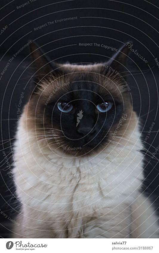 Unser Liebling Katze blau Tier ruhig schwarz niedlich beobachten weich Gelassenheit Hauskatze Haustier Fell Säugetier Wachsamkeit Tiergesicht Thailand