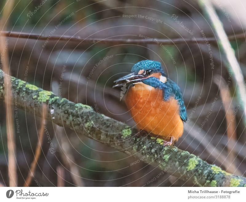 Eisvogel mit Fisch im Schnabel Natur Tier Sonnenlicht Pflanze Sträucher Zweige u. Äste Seeufer Flussufer Wildtier Vogel Tiergesicht Flügel Krallen Eisvögel Auge