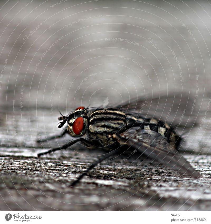 eine haarige Fliege macht eine Flugpause fliegenbeine Facettenauge Insekt einfach beobachten grau sitzen nah Leben natürlich rot ruhig Pause holzig