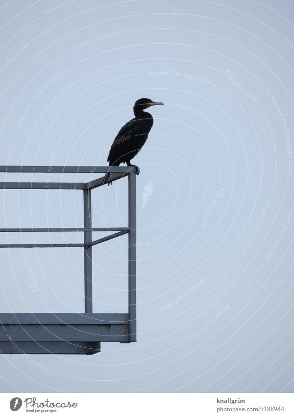 Kormoran Balkon Geländer Tier Wildtier Vogel 1 stehen warten blau grau Farbfoto Außenaufnahme Menschenleer Textfreiraum rechts Textfreiraum oben