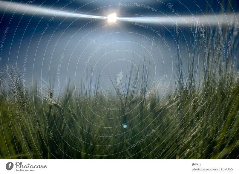Sommergerste Umwelt Natur Pflanze Himmel Sonne Schönes Wetter Nutzpflanze Gerste Granne Feld Wachstum Ferne Ernte Landwirtschaft Ackerbau Grün blau Farbfoto