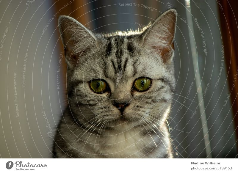 Britisches Kurzhaar Kitten Haustier Katze Tiergesicht 1 Tierjunges Blick sitzen schön grau grün schwarz Farbfoto Innenaufnahme Morgen Licht Schatten