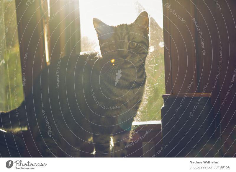 Britisches Kurzhaar Kitten auf Fensterbank Haustier Katze Tiergesicht 1 Tierjunges Kommunizieren Blick grau grün schwarz weiß Neugier Farbfoto Innenaufnahme