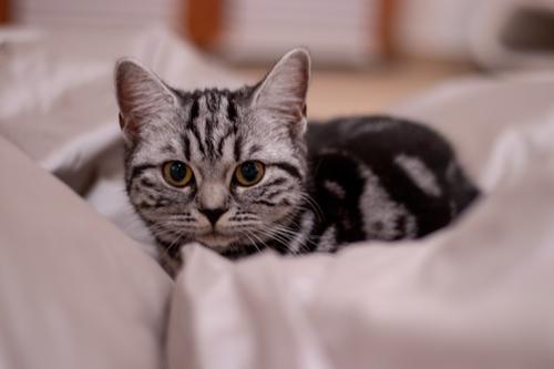 Britisches Kurzhaar Kitten zwischen Kissen Katze weiß Tier schwarz Tierjunges klein gold warten niedlich beobachten Neugier weich Haustier Fell Tiergesicht