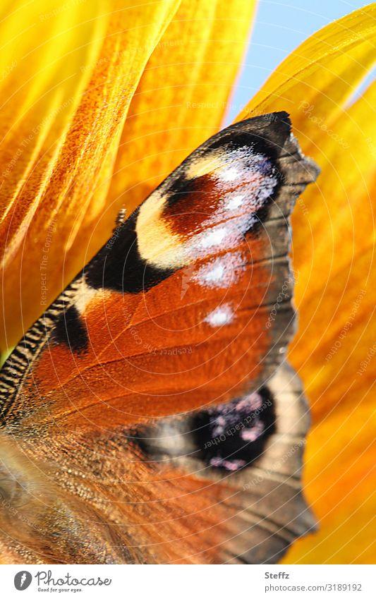 Es war einmal ein Sommertag Natur schön Blume Wärme gelb Umwelt Blüte natürlich Deutschland Garten orange Schönes Wetter nah Schmetterling Blütenblatt