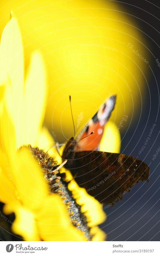 warmer September blühende Sonnenblume Schmetterling Edelfalter sonniger Tag Indian Summer sonniger Herbsttag Frühherbst Altweibersommer gelbe blume warme Farben