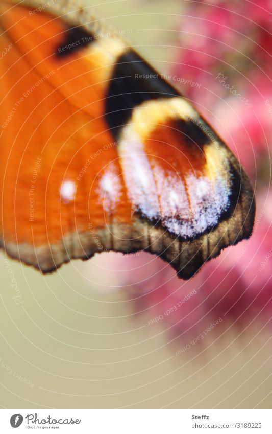 in der Sonnenwärme Umwelt Natur Sommer Schönes Wetter Deutschland Schmetterling Flügel Edelfalter Augenfalter nah natürlich schön Wärme mehrfarbig orange
