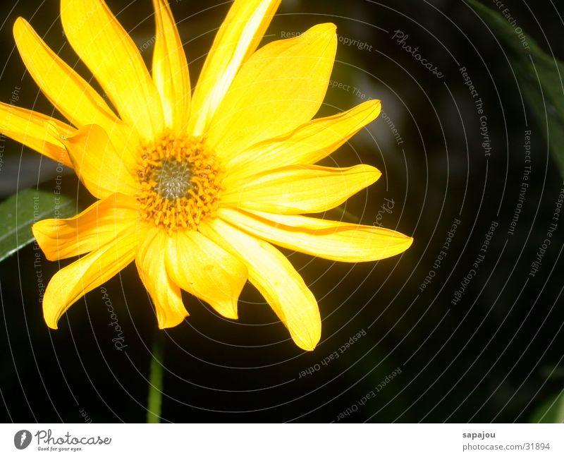 Sonne in der Nacht schön Blume gelb Lampe hell