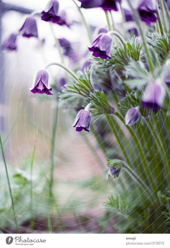 leela Umwelt Natur Pflanze Blume Blüte natürlich grün violett Tulpe Farbfoto Außenaufnahme Makroaufnahme Menschenleer Tag Schwache Tiefenschärfe