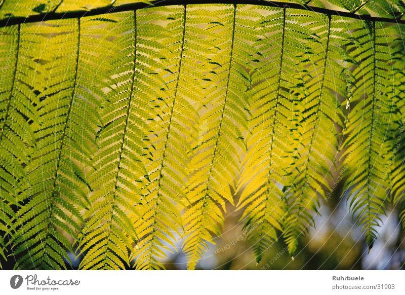 Farn im Sonnenlicht Natur grün Pflanze Blatt Echte Farne