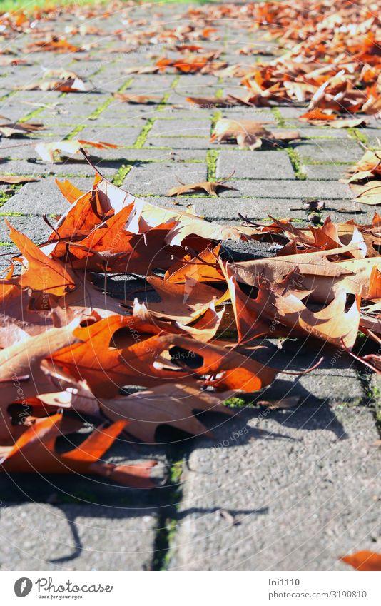 Herbstlaub Natur Landschaft Pflanze Blatt Eichenblatt Park Kleinstadt braun grau grün rot schwarz Herbstfärbung Oktober Farbenspiel Gegenlicht Steinweg