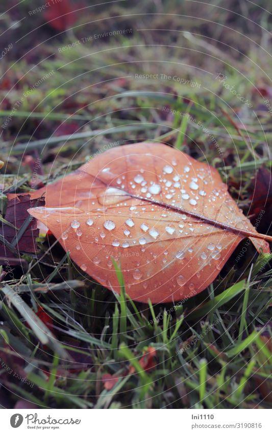 buntes Blatt mit Tropfen Pflanze Wasser Wassertropfen Herbst Schönes Wetter Gras Garten Park braun grün rot Herbstfärbung Farbenspiel Regen glänzend
