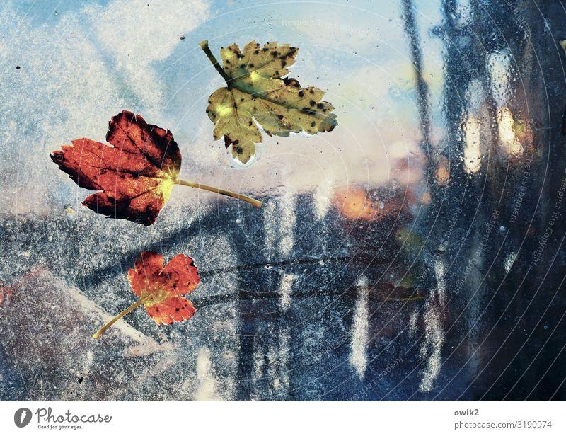 Ribis Wasser Himmel Herbst Sträucher Blatt Johannisbeerstrauch Glasscheibe klein nah nass unten Vergänglichkeit kleben anhaften Herbstlaub durchscheinend