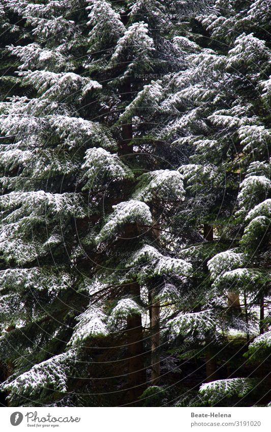 Im Schwarzwald hat's mal wieder geschneit 2 Gesundheit Landwirtschaft Forstwirtschaft Natur Winter Eis Frost Schnee Schneefall Baum Wald Tanne frieren hängen