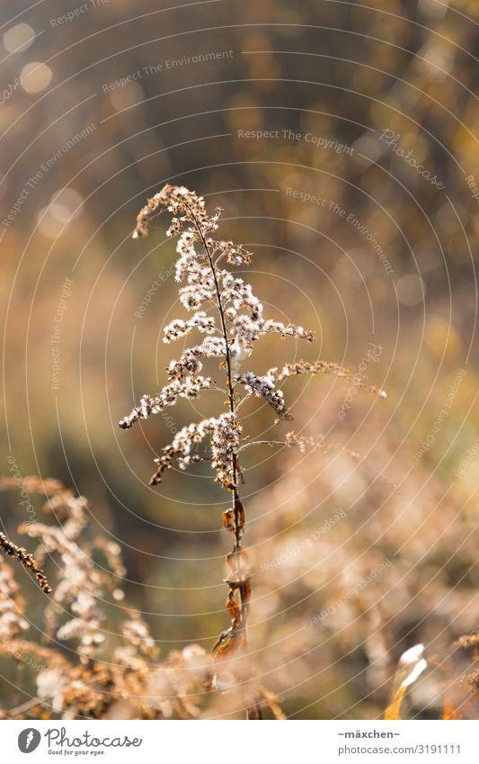 Im Gegenlicht Natur Landschaft Pflanze Gras Sträucher Wiese braun gold weiß Stillleben Herbst Unschärfe Schwache Tiefenschärfe Freisteller vertrocknet Farbfoto