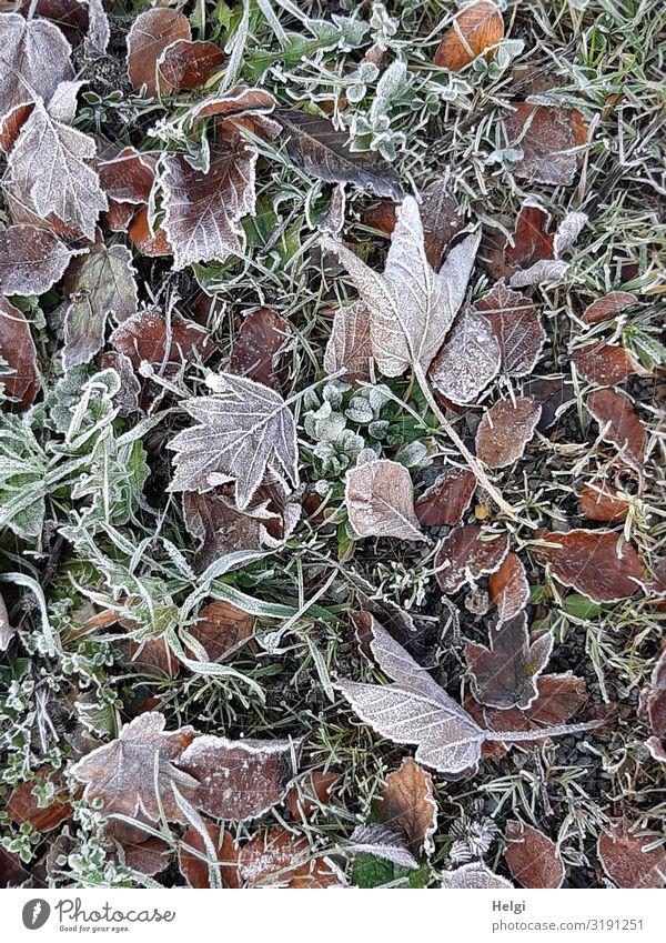 viele verschiedene Herbstblätter am Boden mit Raureif bedeckt Umwelt Natur Pflanze Eis Frost Gras Blatt Herbstlaub Wiese frieren liegen ästhetisch authentisch