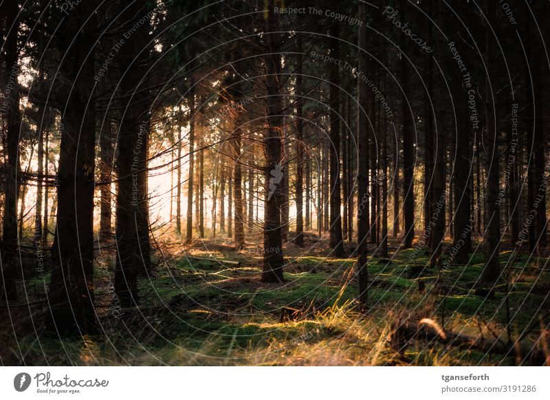 Im Wald Umwelt Natur Landschaft Pflanze Sonne Sonnenaufgang Sonnenuntergang Sonnenlicht Herbst Baum Sträucher Moos leuchten ästhetisch fantastisch Glück hell