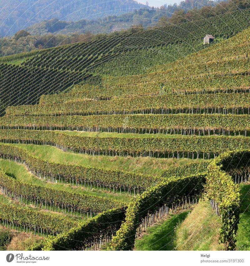 Weinreben in verschiedenen Reihen am Weinberg im Schwarzwald Umwelt Natur Landschaft Pflanze Sonnenlicht Schönes Wetter Nutzpflanze Berge u. Gebirge Hütte