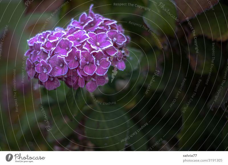letzte Blütenpracht Natur Pflanze Wasser Blume Herbst Umwelt kalt Garten Eis Wetter Blühend Urelemente Frost gefroren Raureif