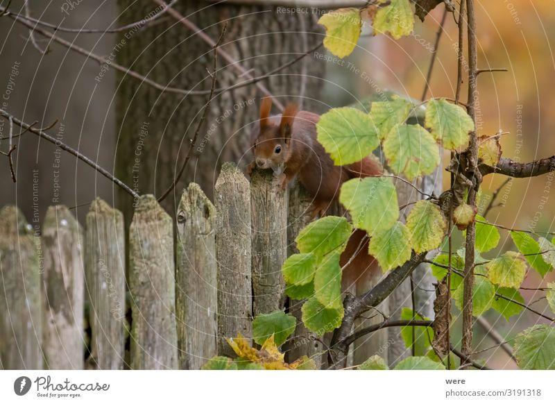 European brown squirrel Natur Tier Wildtier weich kuschlig Eichhörnchen