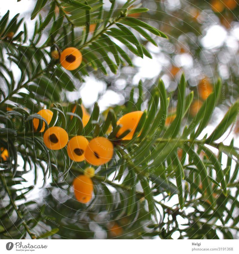 Nahaufnahme von Zweigen einer Eibe mit gelben Fruchtkörpern im Gegenlicht mit Bokeh Umwelt Natur Pflanze Herbst Schönes Wetter Baum Park hängen Wachstum