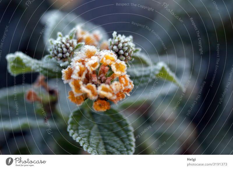 Blüte, Knospen und Blätter eines Wandelröschens mit Eiskristallen im Herbst Umwelt Natur Pflanze Frost Blume Blatt Park Blühend frieren Wachstum ästhetisch