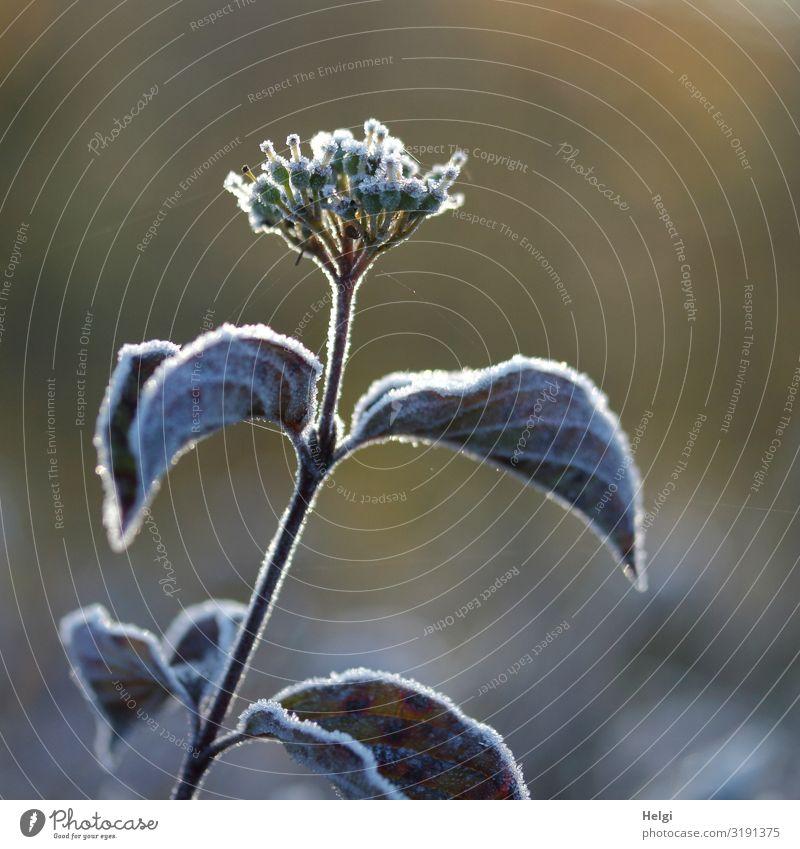 Raureif auf einer Pflanze mit Blättern und Blüte im Herbst Umwelt Natur Schönes Wetter Eis Frost Blatt Park Blühend frieren Wachstum ästhetisch authentisch