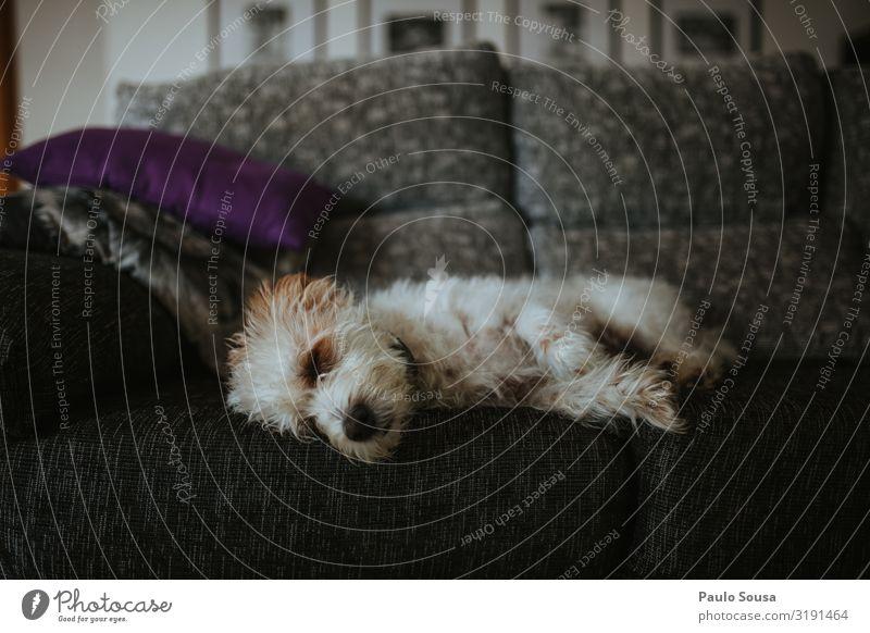 Süßer Hund schläft auf dem Sofa Lifestyle Tier Haustier 1 liegen schlafen Freundlichkeit niedlich Erholung Farbfoto Innenaufnahme Menschenleer Textfreiraum oben