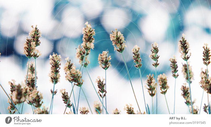 Lavendel verträumt Natur Pflanze Frühling Sommer Blume Nutzpflanze Garten Park Blühend Duft blau grün türkis weiß Farbfoto Außenaufnahme Nahaufnahme Experiment