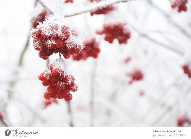 gefrorene rote Beeren an einem Schneeballstrauch Umwelt Natur Winter Klimawandel Eis Frost Pflanze Sträucher Sommerschneeball Gemeiner Schneeball ästhetisch