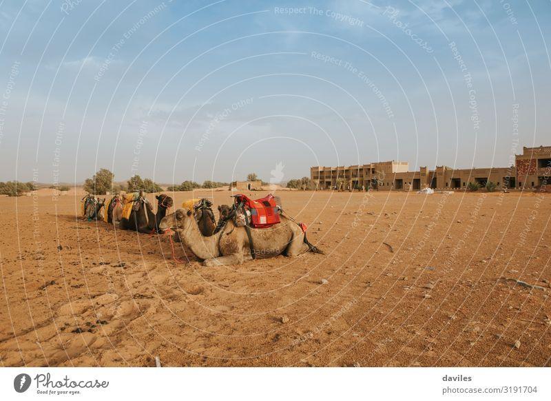 Gruppe von Dromedaren, die auf dem Sand sitzen. exotisch Ferien & Urlaub & Reisen Tourismus Ausflug Abenteuer Sommer Kultur Natur Landschaft Tier Wüste Sahara