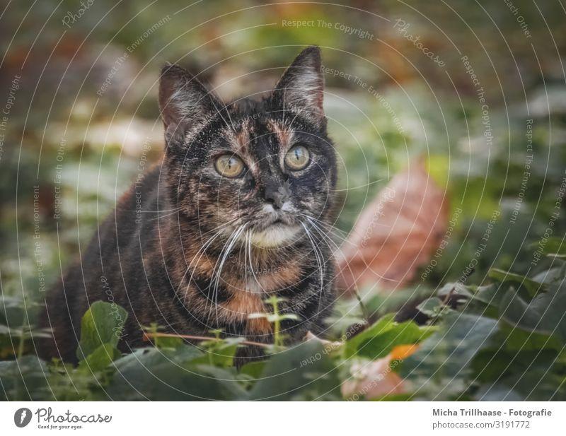 Katze im Herbstlaub Natur Tier Schönes Wetter Blatt Haustier Tiergesicht Fell Kopf Gesicht Auge Ohr Nase Maul Schnurrhaar 1 beobachten glänzend Blick nah