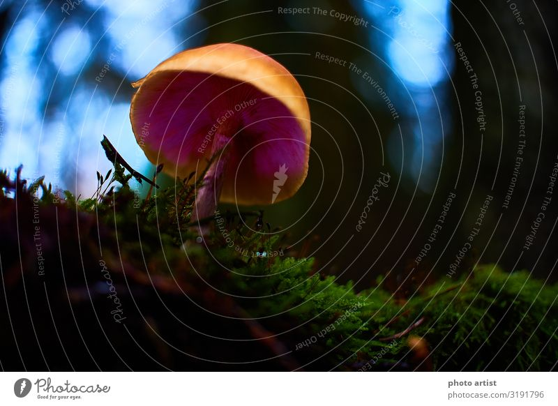 Leuchtender Pilz Umwelt Natur Pflanze Erde Moos Efeu Farn Grünpflanze Moor Sumpf Menschenleer wandern exotisch fantastisch Fröhlichkeit hoch schön einzigartig