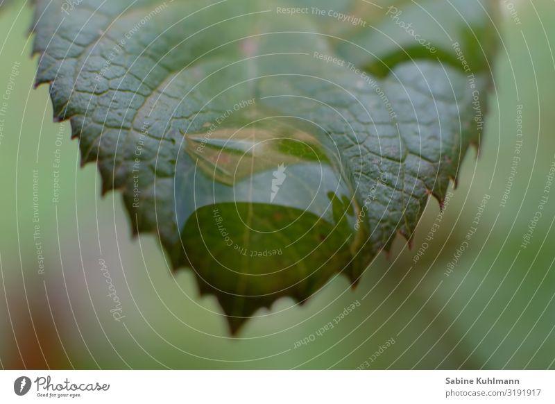 Blatt Blattadern Blattgrün Blattfaser Tropfen Regen Pflanze Natur Farbfoto Nahaufnahme Makroaufnahme Außenaufnahme Detailaufnahme Wassertropfen Grünpflanze Tau