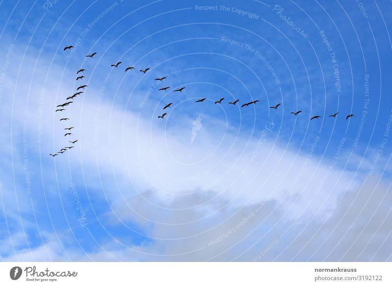 Zugvögel Tier Himmel Wolken Herbst Wildtier Vogel Schwarm fliegen Unendlichkeit blau schwarz Überleben Zugvogel Tiergruppe Vogelschwarm Vogelflug Farbfoto