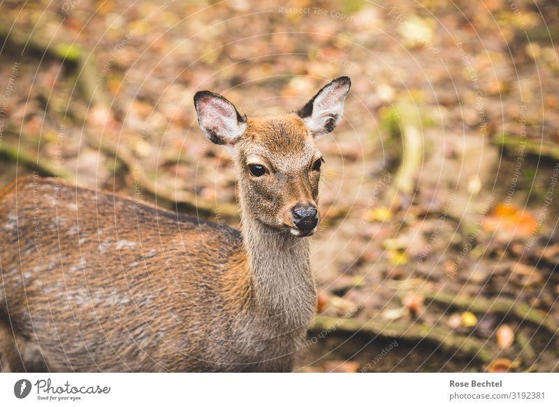 Ein Reh Tier Herbst natürlich braun Wildtier niedlich Wildfleisch Jagd