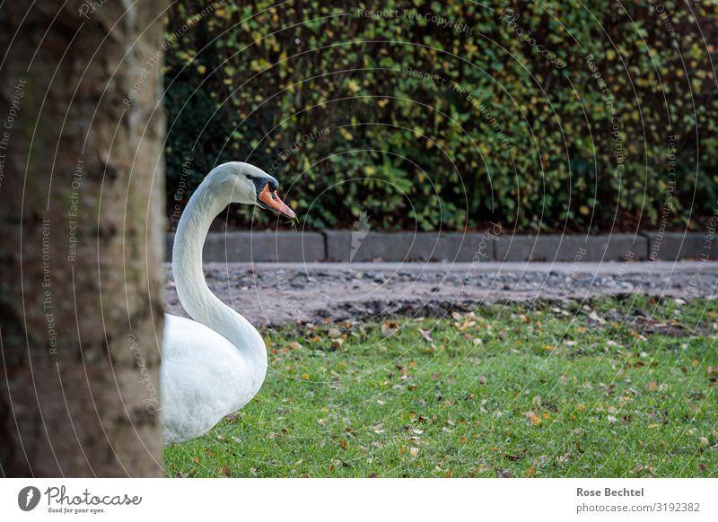 Ein Schwan grün weiß Tier natürlich braun Wildtier Neugier kommen sichtbar