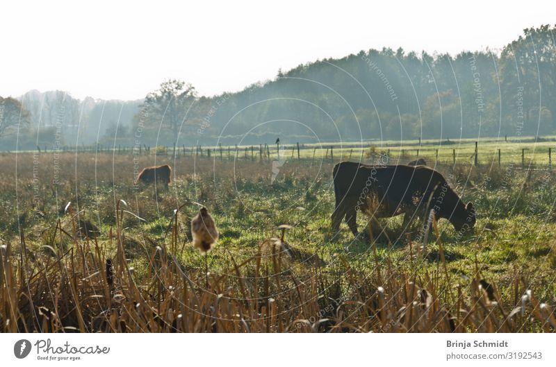 Spaziergang im Herbst im Moor, Rinder im Gegenlicht Natur Landschaft Pflanze Schönes Wetter Nebel Grünpflanze Wiese Sumpf Haustier Nutztier Kuh Herde beobachten