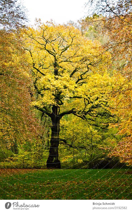 Ein Baum im Herbst mit leuchten gelben Blättern Ausflug wandern Natur Landschaft Pflanze Laub Park Wiese Grünanlage alt dehydrieren Wachstum authentisch