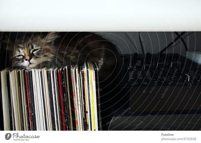 Des DJ's Katze Tier Haustier Tiergesicht Fell 1 Tierjunges klein nah natürlich feminin weich grau rot schwarz weiß Müdigkeit Schallplatte Plattenspieler