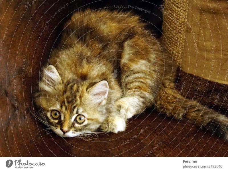AAAAAAngriiiiiiiiiff! Tier Haustier Katze Tiergesicht Fell 1 Tierjunges frech klein nah natürlich feminin weich braun weiß Angriff beobachten Auge Ohr Farbfoto