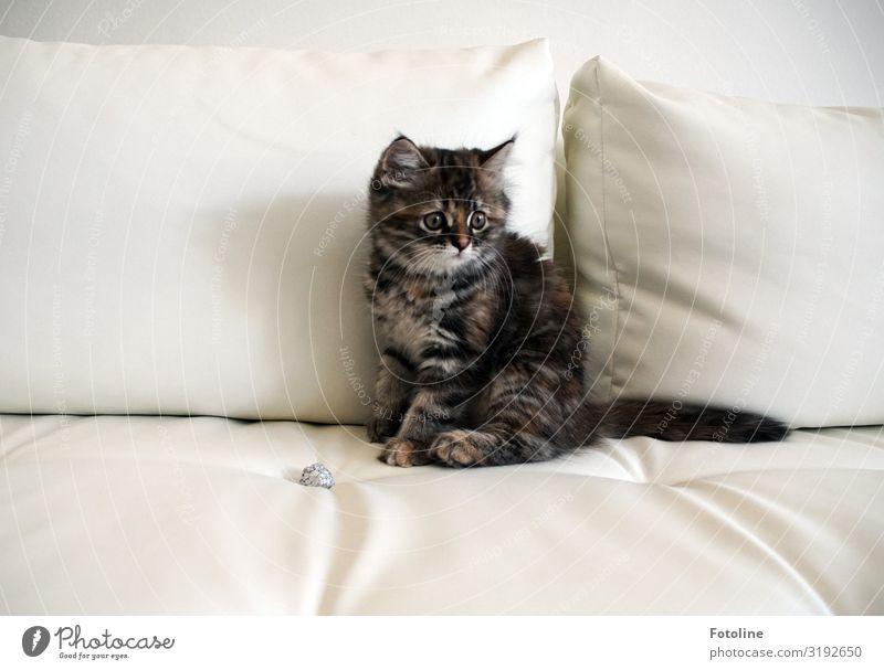 Spielpause Tier Haustier Katze Tiergesicht Fell 1 Tierjunges frech hell natürlich feminin weich grau weiß Sofa Sofakissen sitzen Pause Farbfoto Gedeckte Farben