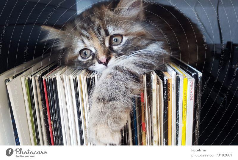 Rückzugsort Tier Haustier Katze Tiergesicht Fell Pfote 1 Tierjunges frech hell klein nah natürlich feminin weich braun gelb grau weiß Schallplatte Musik