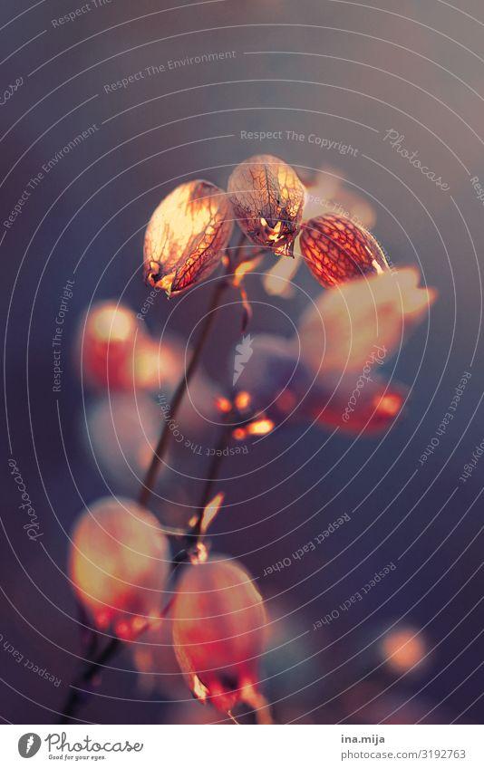 Im goldenen Schein Umwelt Natur Pflanze Frühling Sommer Herbst Wildpflanze Garten Park Wiese ästhetisch glänzend natürlich Stimmung Frühlingsgefühle Romantik