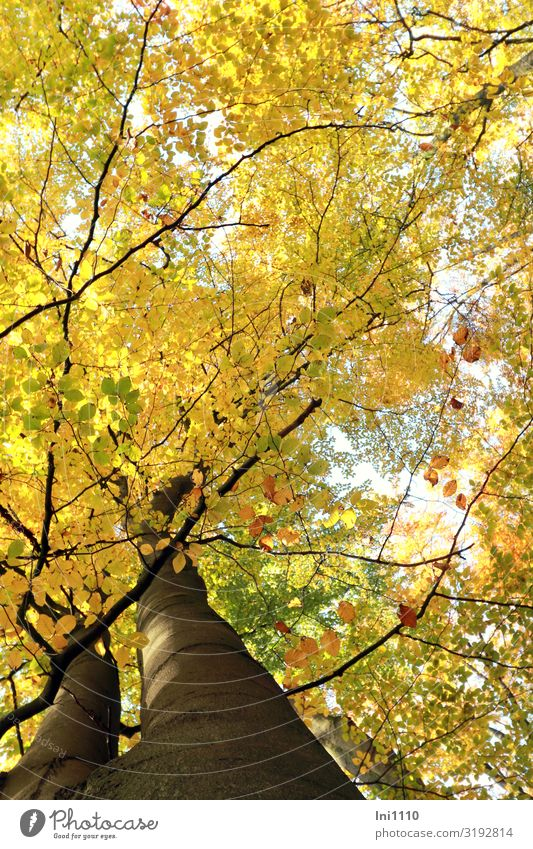 mal hoch geschaut Ausflug wandern Natur Pflanze Herbst Schönes Wetter Baum Blatt Buchenblatt Buchenwald Wald braun gelb grün schwarz weiß Herbstfärbung