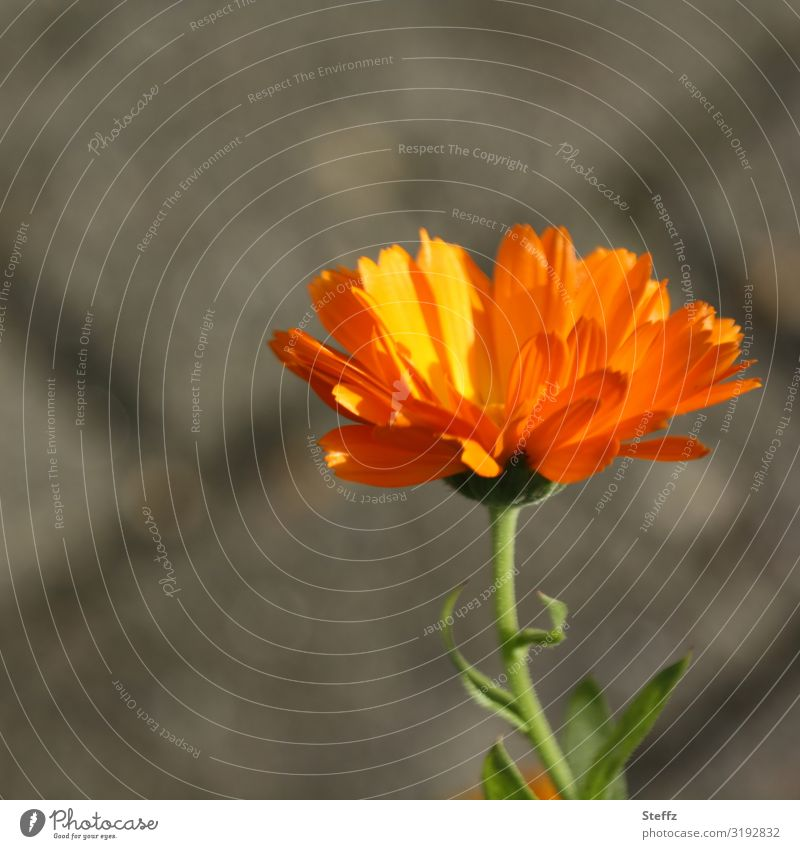 Marigold Umwelt Natur Pflanze Sommer Blume Blüte Wildpflanze Ringelblume Blütenblatt Sommerblumen Heilpflanzen Garten Wiese Deutschland Europa Blühend natürlich